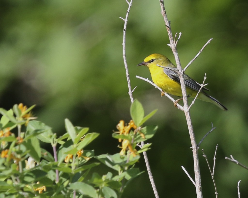One of four Blue-winged Warblers that made my day. Sterling Forest SP, 6/5/14.