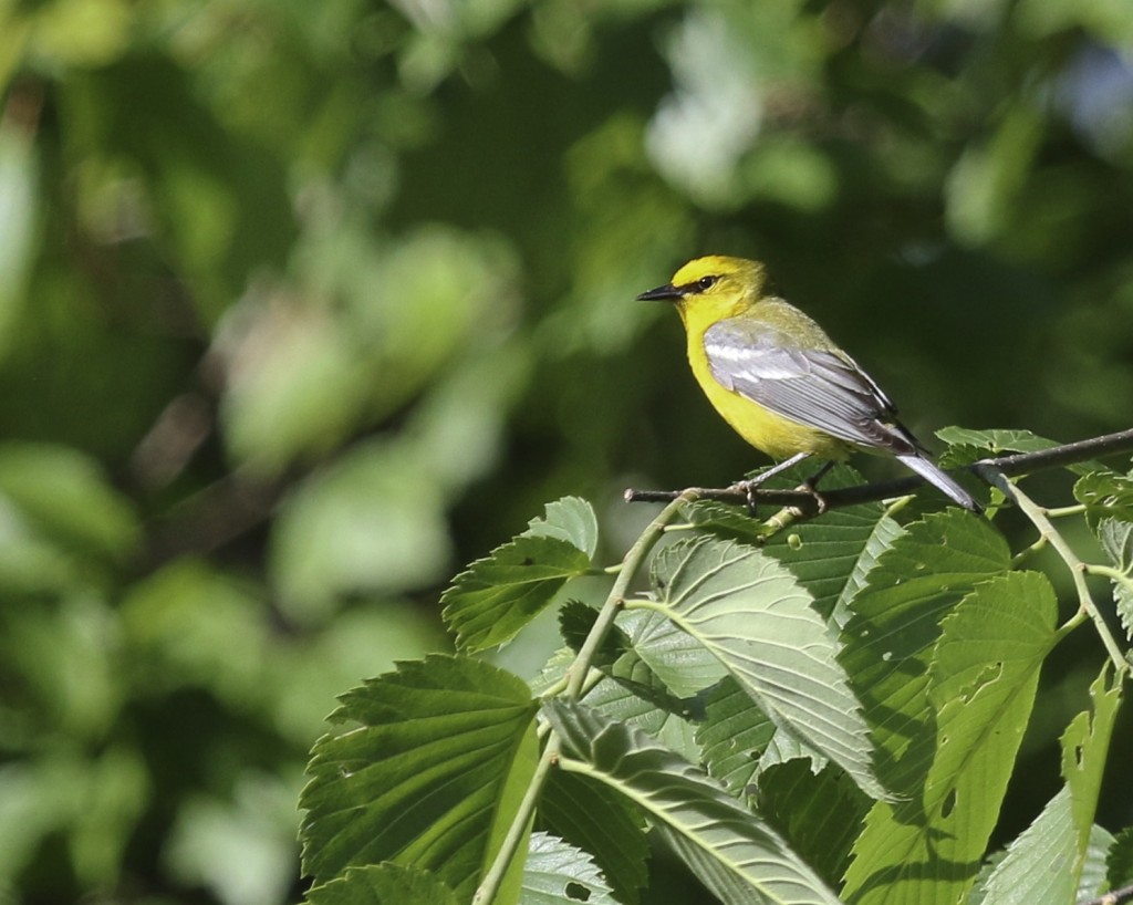 Blue-winged Warbler, Sterling Forest SP, 6/5/14.