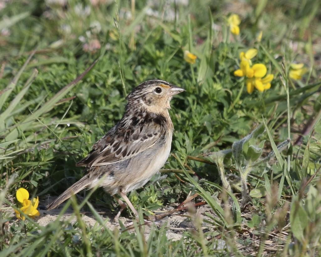 Savannah Sparrow on the trail, Shawangunk Grasslands NWR, 6/8/14.