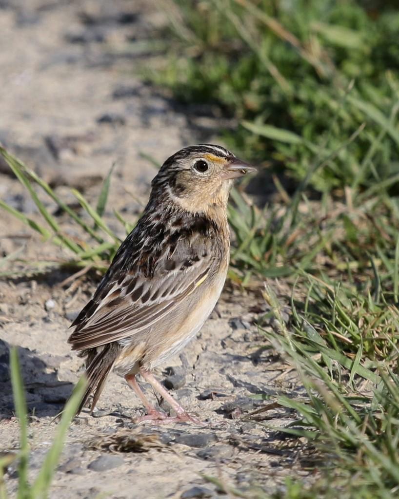 Savannah Sparrow, Shawangunk Grasslands NWR, 6/8/14.