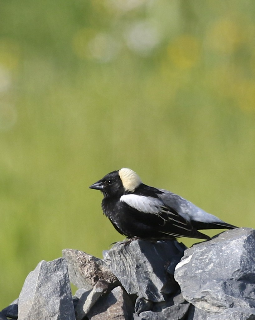 I was happy to get a little bit of a different look - Bobolink on the rocks, Shawangunk Grasslands NWR, 6/8/14.