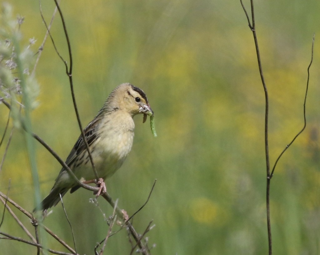 This Bobolink carried around these two worms for quite a while, perhaps a way to attract a mate?  Shawangunk Grasslands NWR, 6/8/14.