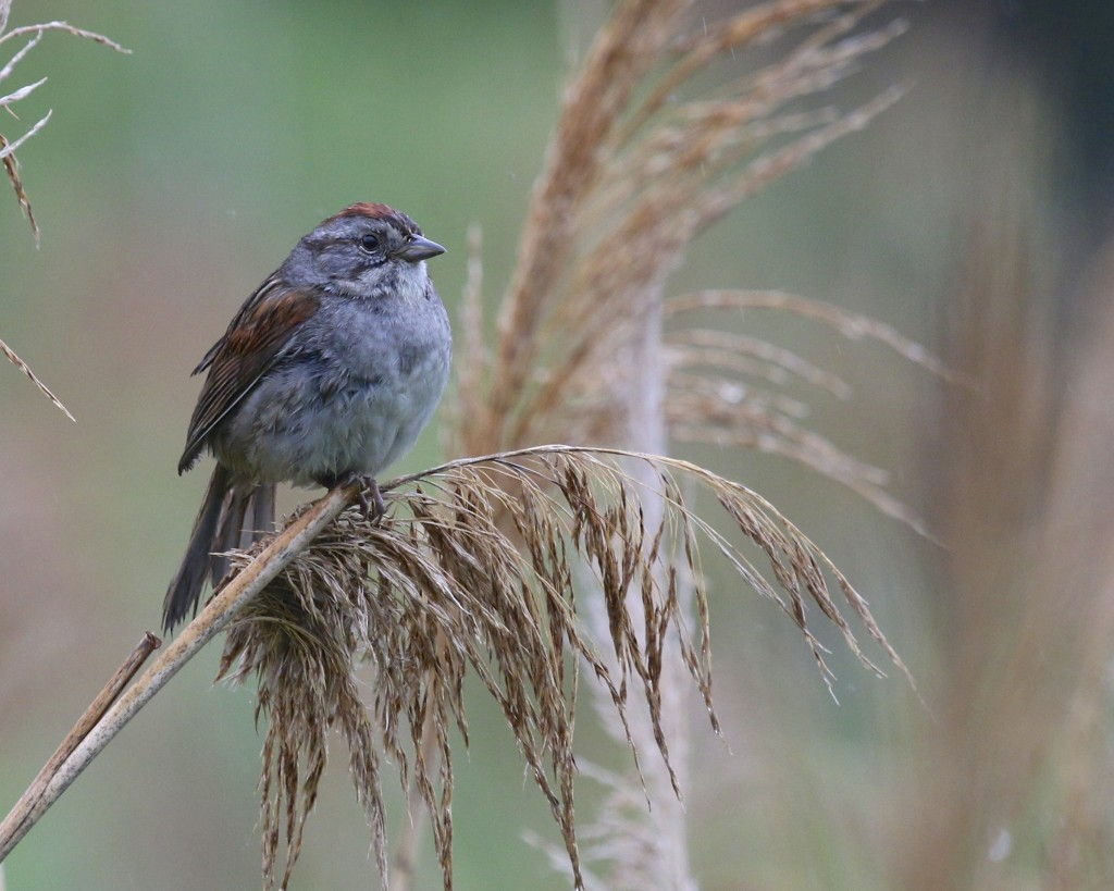 Swamp Sparrow at the AT Pochuck Section, 6/12/14.