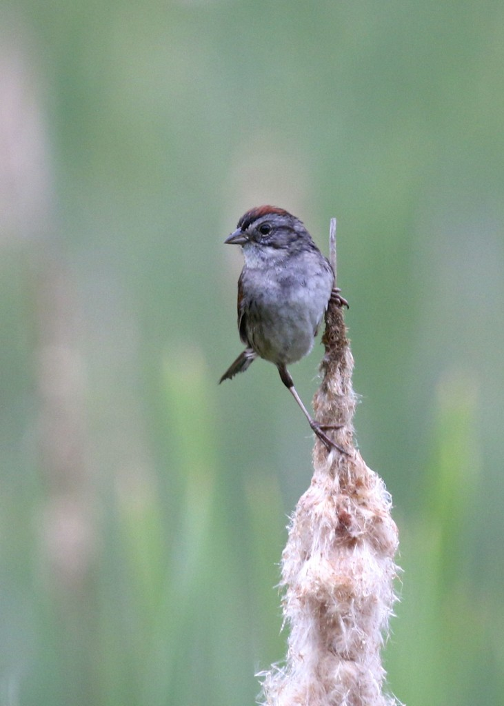 I love the long legs on these Swamp Sparrows. AT Pochuck Section, 6/12/14.