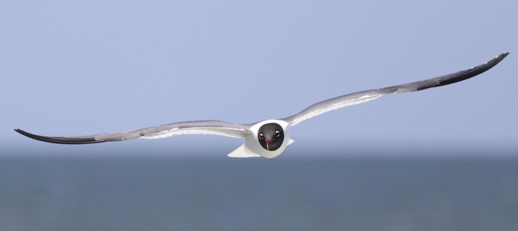 A Laughing Gull trails the ferry between Lewes DE and Cape May NJ, 6/15/14.