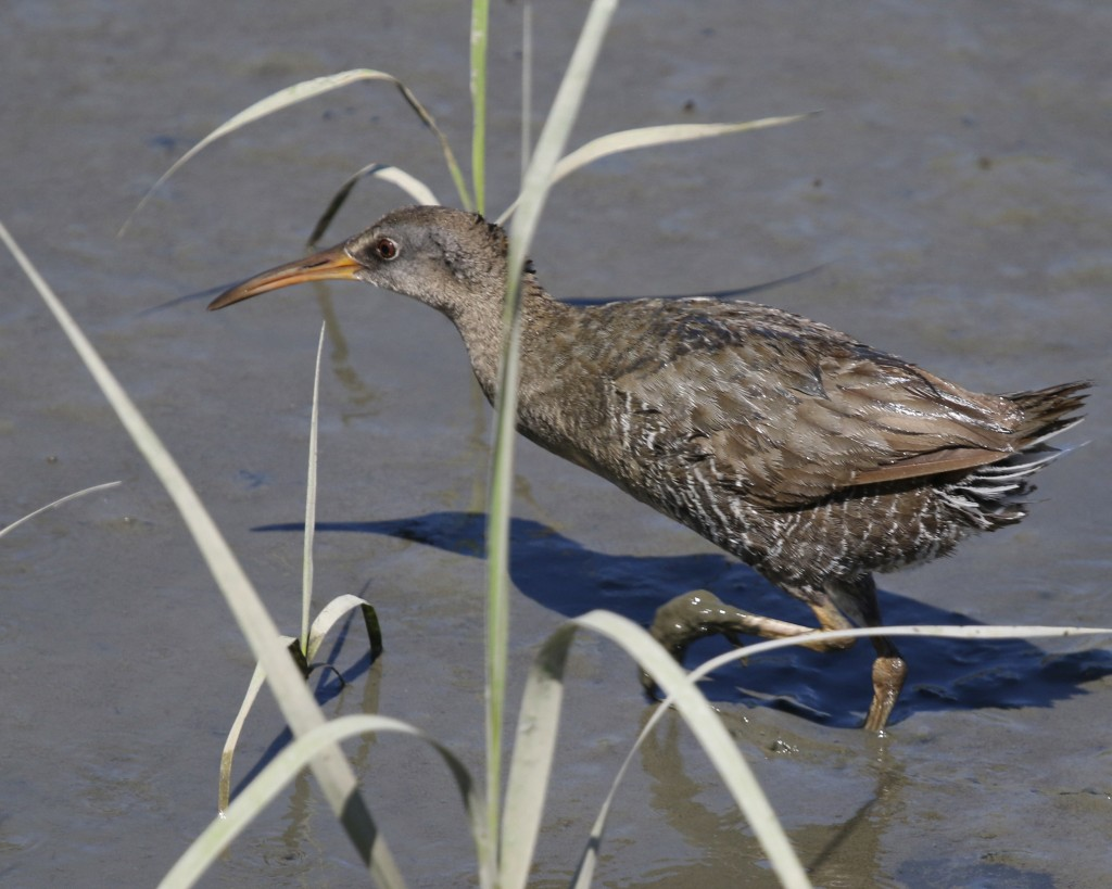 My lifer Clapper Rail at the Edwin B. Forsythe NWR, 6/16/14.