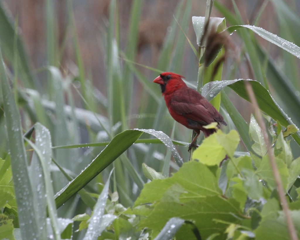 I was just saying recently that I never get shots of Northern Cardinals in the field. NOCA in the swamp, Wallkill River NWR, 7/4/14.