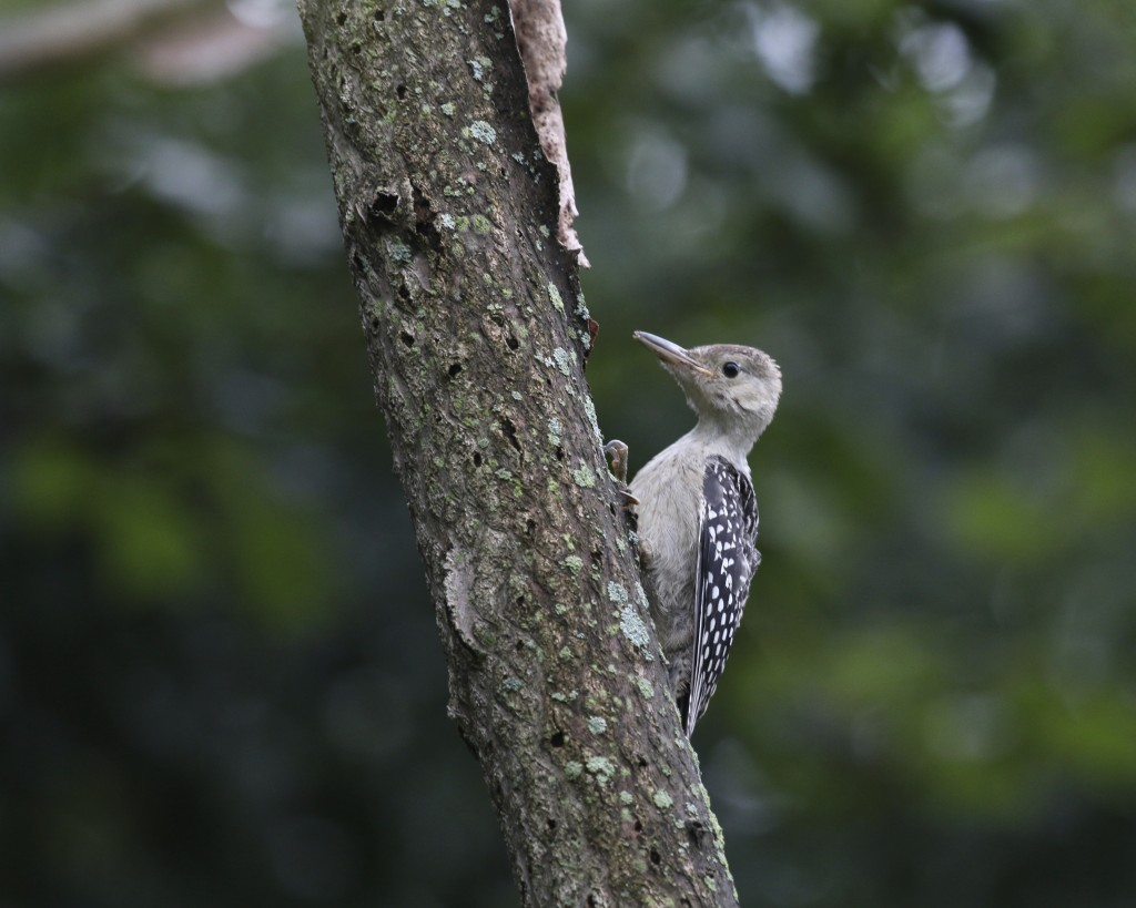 I have this as a young Red-bellied Woodpecker. This shot is a little soft, but it was low light all morning with the rainy conditions. Wallkill River NWR, 7/4/14.