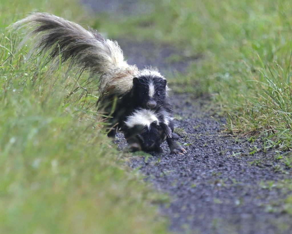 Adult skunk transporting a kit down the trail. Wallkill River NWR, 7/4/14.