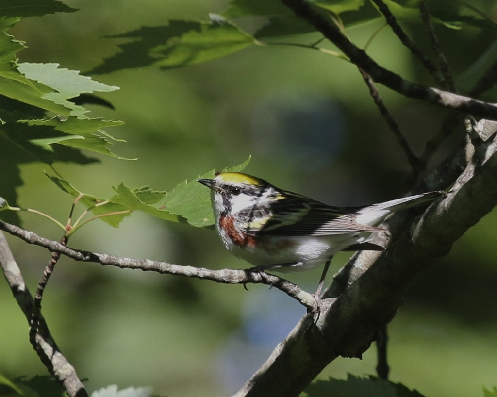 Chestnut-sided Warbler at Wolf Brook Multi-use Area, 7/11/14.