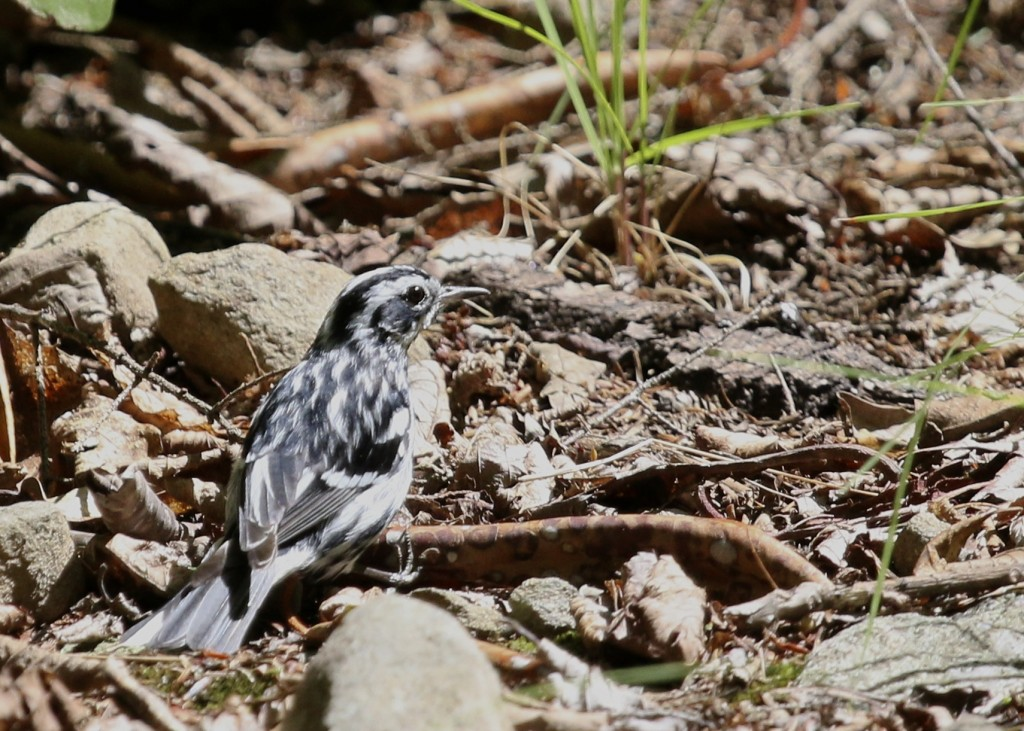This Black-and-white Warbler found one patch of bright sunlight on the trail. Of course my camera was set for being in the low light of the trail so this shot is overexposed but I tried to salvage it. Neversink Unique Area, 7/11/14.