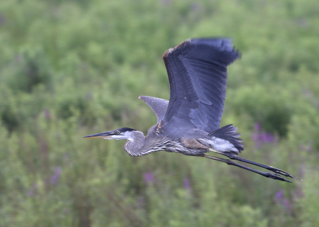 Great Blue Heron in flight, seen from the viewing platform at Liberty Marsh, 7/14/14.