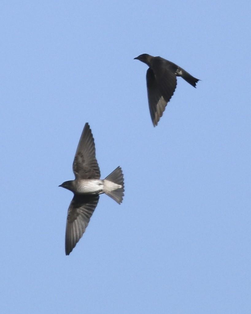 Purple Martins in flight overhead at Stewart Forest, 7/17/14.