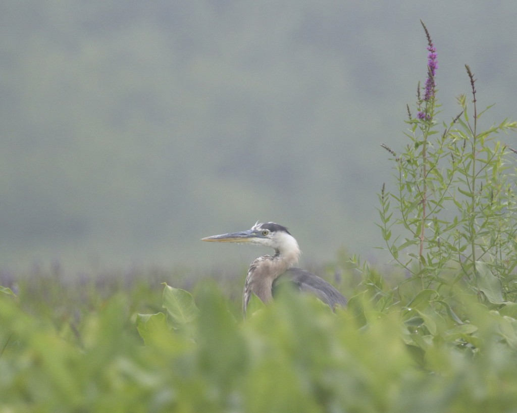I allowed the kayak to just drift in the direction of this perched Great Blue Heron. Bashakill WMA, 7/18/14.