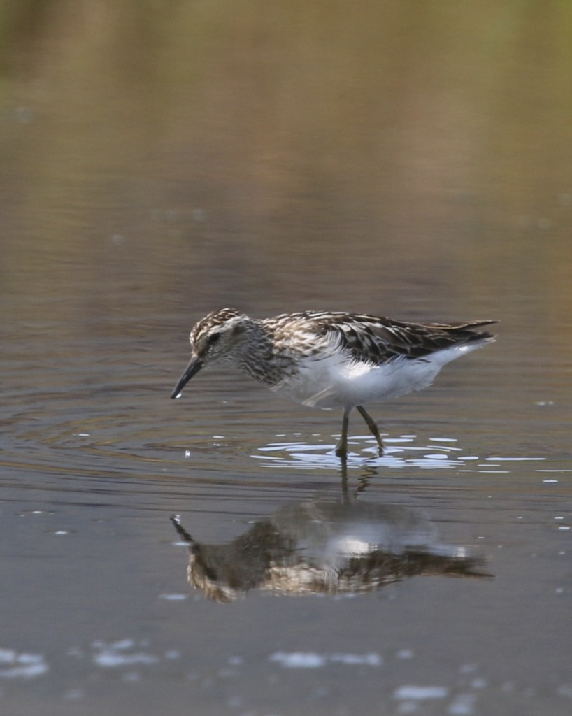 Least Sandpiper in Sullivan County, 7/18/14.