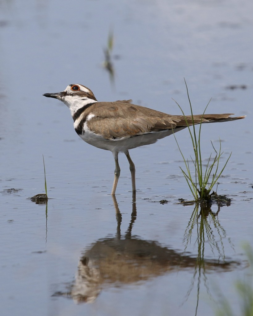This Killdeer kept looking skyward, I'm not sure why. Sullivan County 7/18/14.