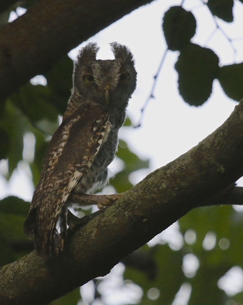 The owl perched on a nearby branch for probably less than a minute and then seemed to get its bearings and took off.