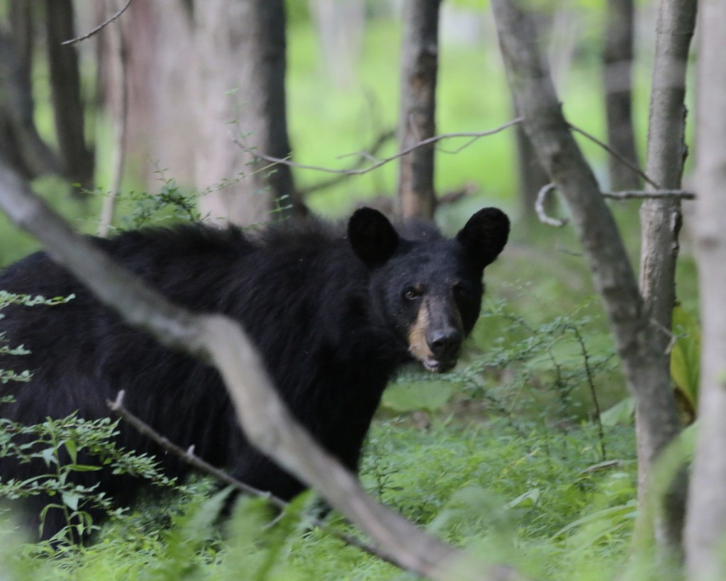 The first bear we saw was relatively small, presumably a young bear.