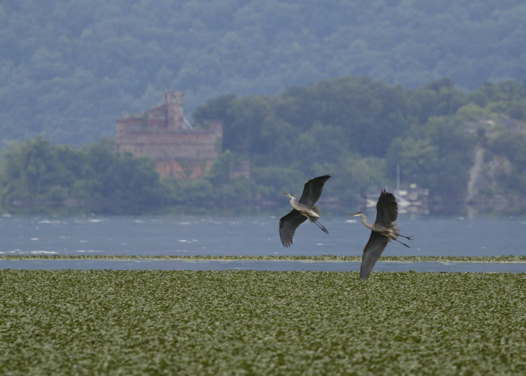 Two Great Blue Herons spar just off of Denning's Point, with Bannerman Castle in the background, 7/19/14.