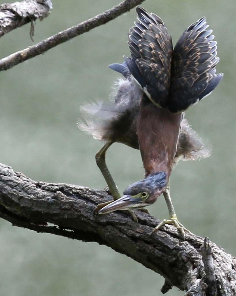 A Green Heron strikes a pose at Denning's Point in Beacon NY, 7/20/14.