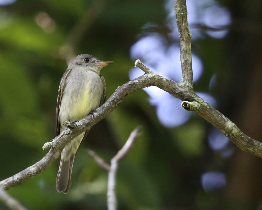 Eastern Wood Peewee, a bird that I don't get many photos of. Stewart Forest, 7/20/14.