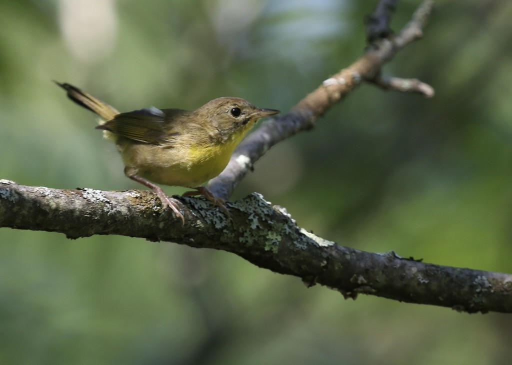 COYE at Stewart Forest, 7/20/14.