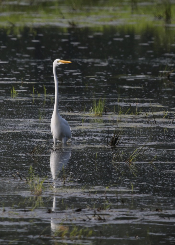 I love how thin this bird looks from this perspective. Great Egret at Wallkill River NWR, 7/21/14.