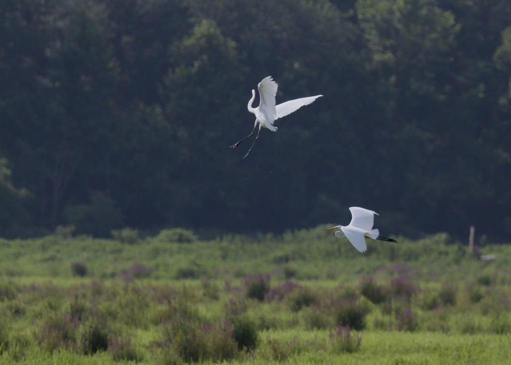 A pair of Great Egrets in flight on the Liberty Loop, 7/21/14.