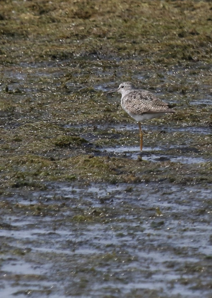 One of three Lesser Yellowlegs at Wallkill River NWR, 7/21/14.