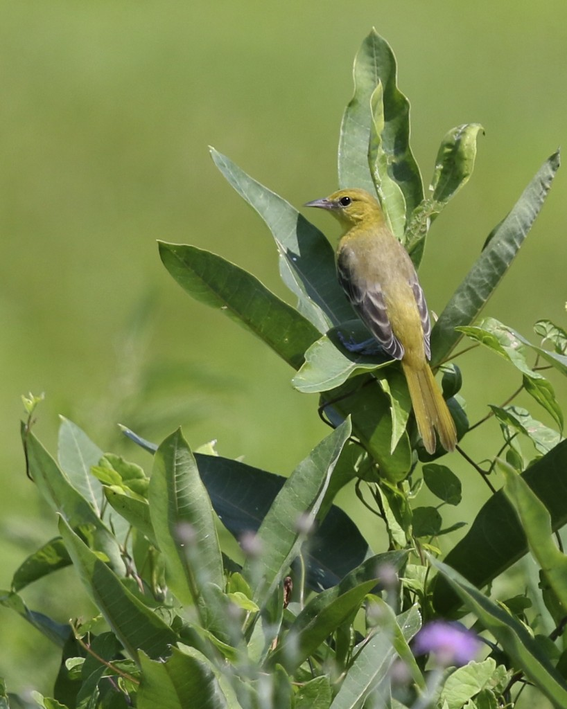 We had many Orchard Orioles while we were out. Wallkill River NWR, 7/21/14.