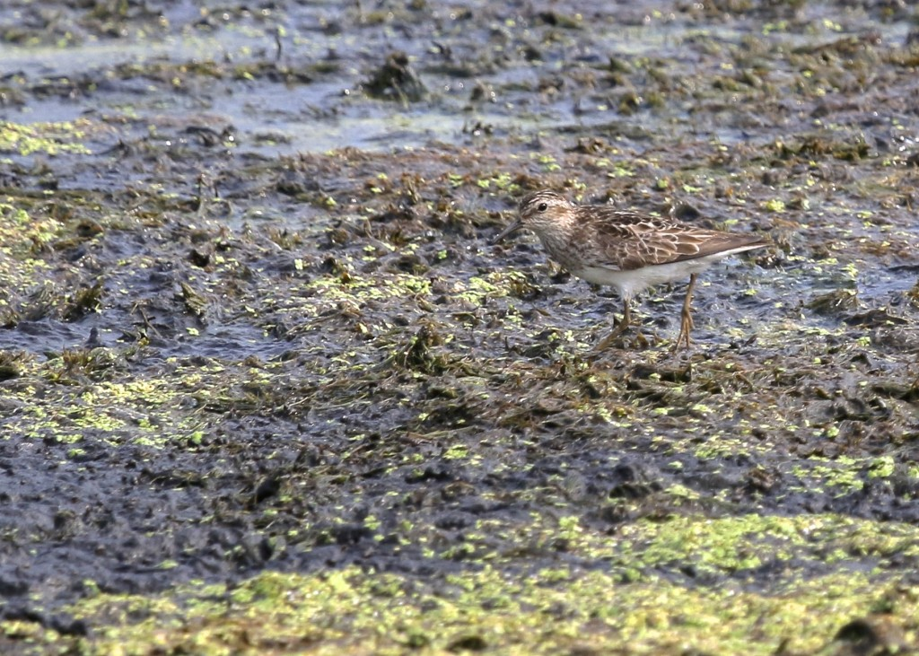 One of 48 (!) Least Sandpipers at Wallkill River NWR, Liberty Loop, 7/23/14.