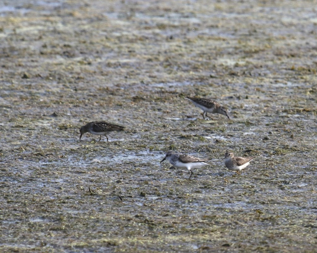 I have these as three Least Sandpipers with one Semipalmated Sandpiper (nearest to front center). Liberty Loop, 7/23/14.