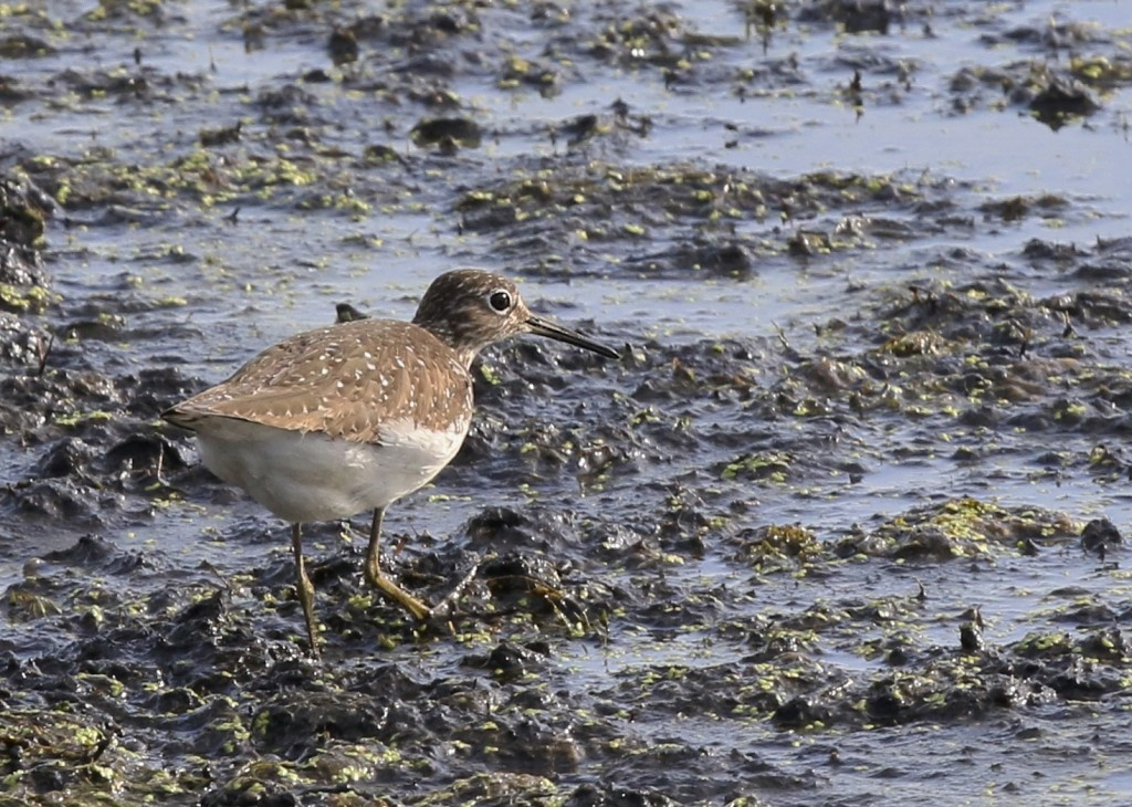 This Solitary Sandpiper was the only shorebird close enough for decent photos. Liberty Loop, 7/24/14.