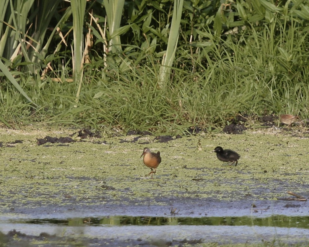 I came and went via Owens Station Road in hopes of finding these Virginia Rails (with young!). Thanks to Linda Scrima and Maria Loukeris for giving me the heads up.