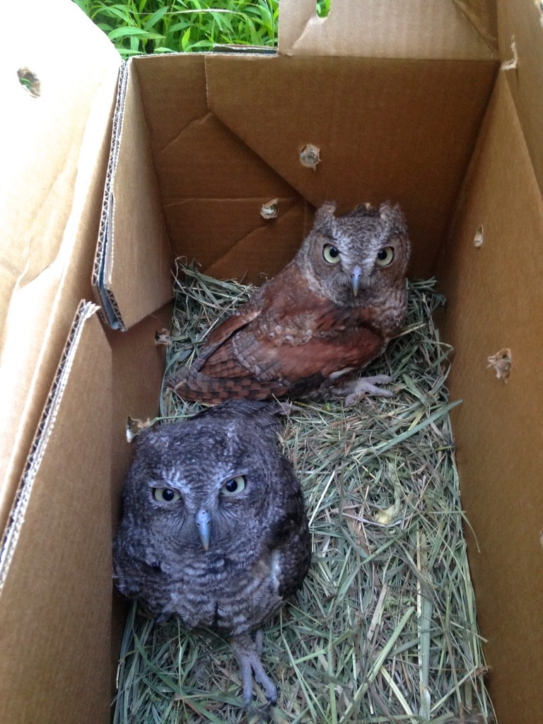 Getting ready to be free again, one rufous and one gray Eastern Screech-owls. Photo by Carol Linguanti, Warwick, NY 7/18/14.