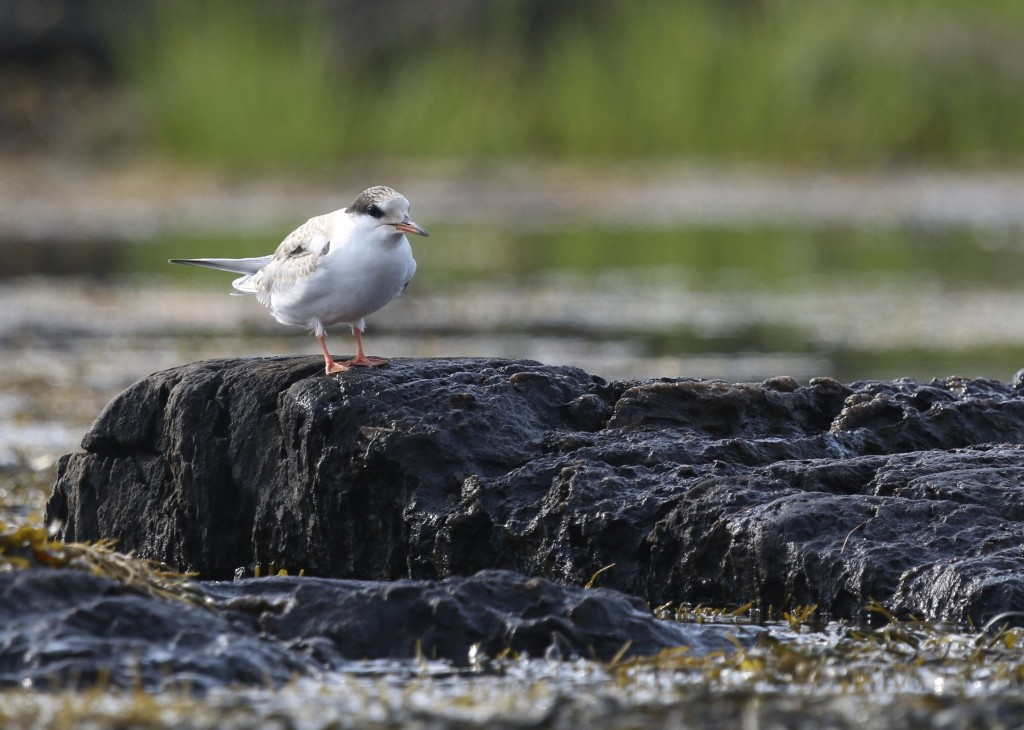 I think this is a young Common Tern, shot while kayaking Cundy's Harbor, 8/7/14.
