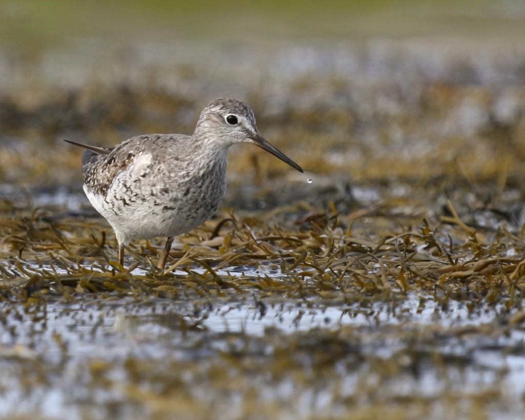 Lesser Yellowlegs while kayaking Cundy's Harbor in Harpswell, Maine. 8/