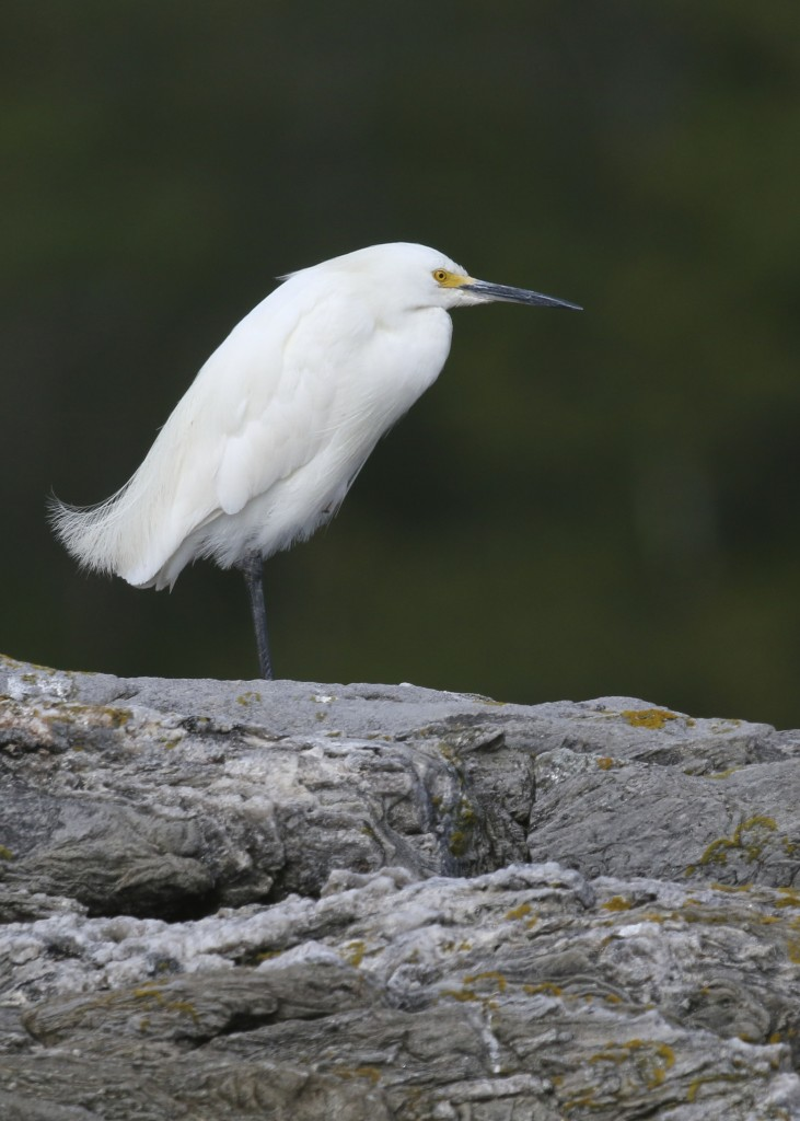 Snowy Egret while kayaking Cundy's Harbor in Harpswell ME, 8/7/14.