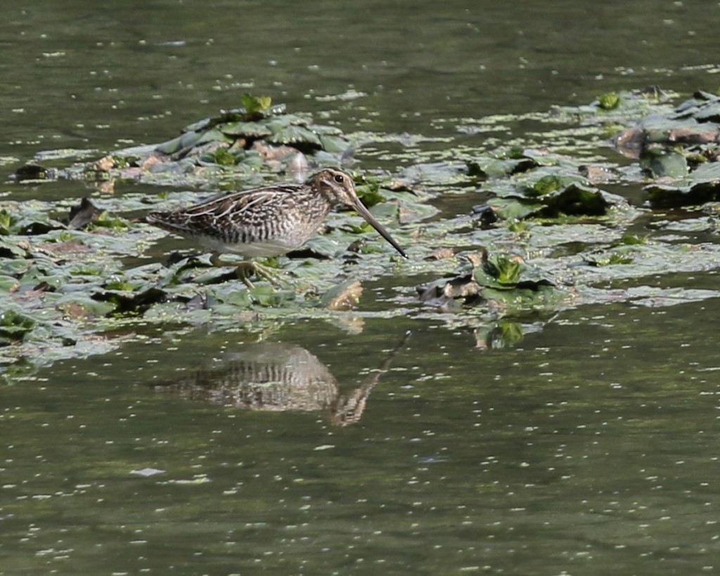 Wilson's Snipe at 6 1/2 Station Road Sanctuary, 8/13/14.