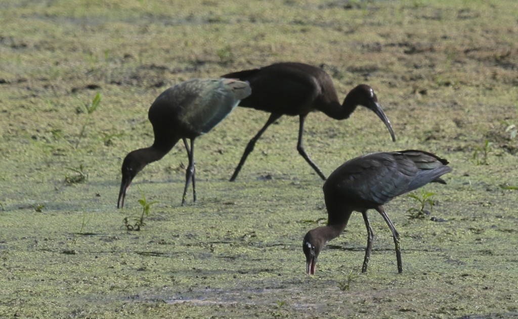 All three Glossy Ibis at the Liberty Loop today, 8/14/14.