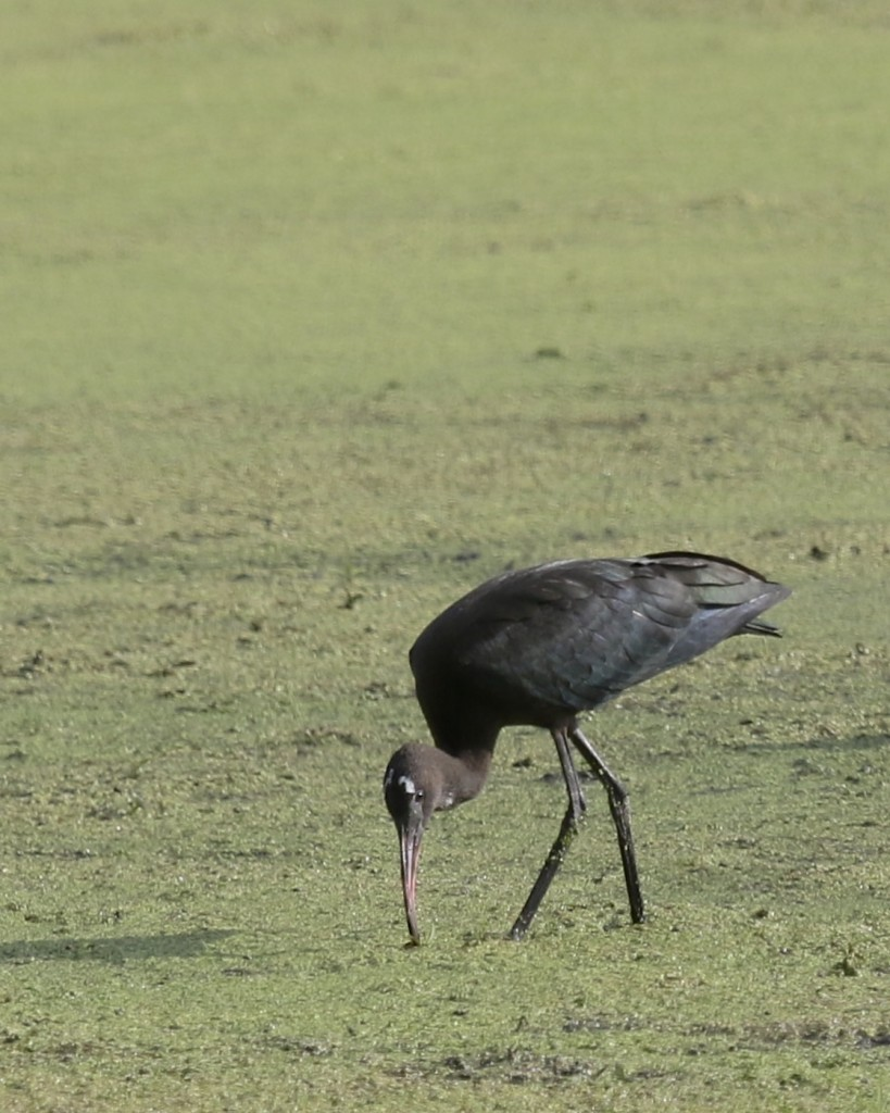 One of three GLOSSY IBIS at Wallkill River National Wildlife Refuge, 8/14/14.