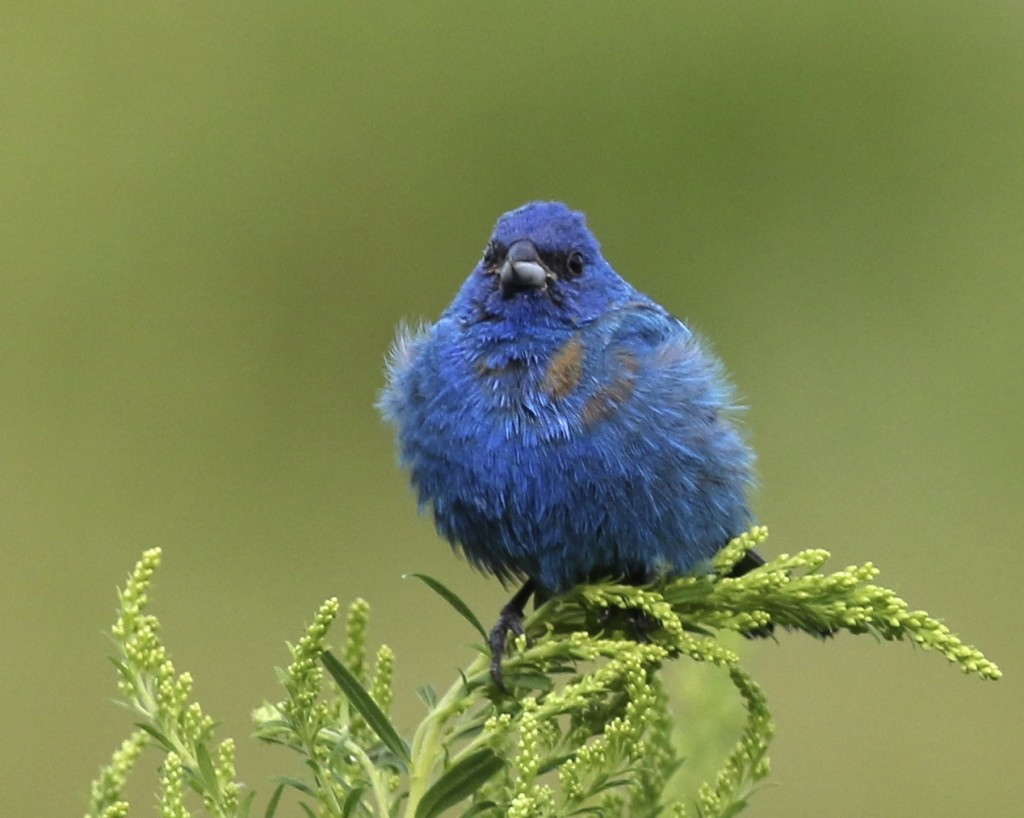 I haven't posted an Indigo Bunting shot in a while - really I haven't taken any, but I couldn't resist this one. Liberty Loop, 8/16/14.