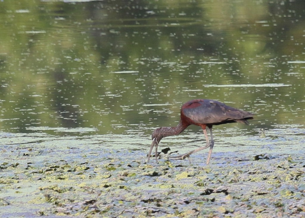 I thought this was really a gorgeous bird. Glossy Ibis at 6 1/2 Station Road Sanctuary, 8/20/14.