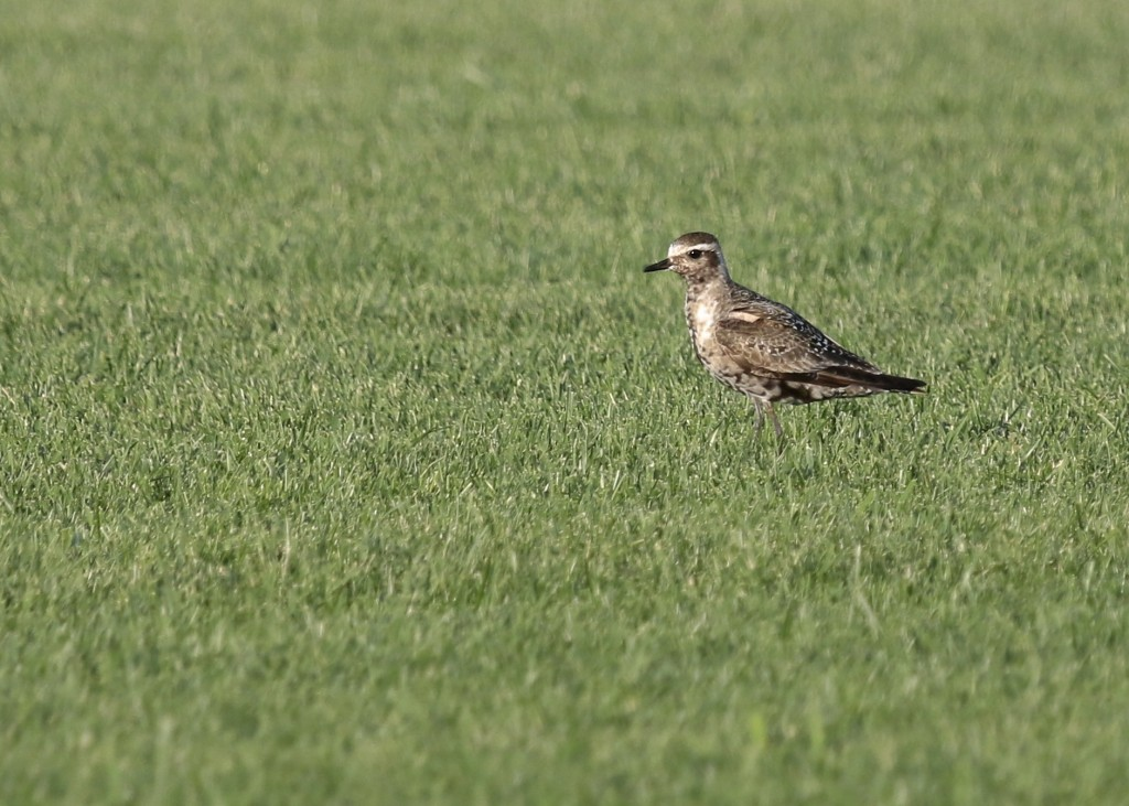 One of nine American Golden-Plovers, Old Warren Sod Farm, 8/28/14.