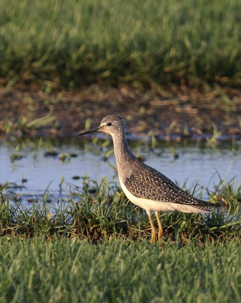 Lesser Yellowlegs in some nice light. Old Warren Sod Farm, 8/28/14.