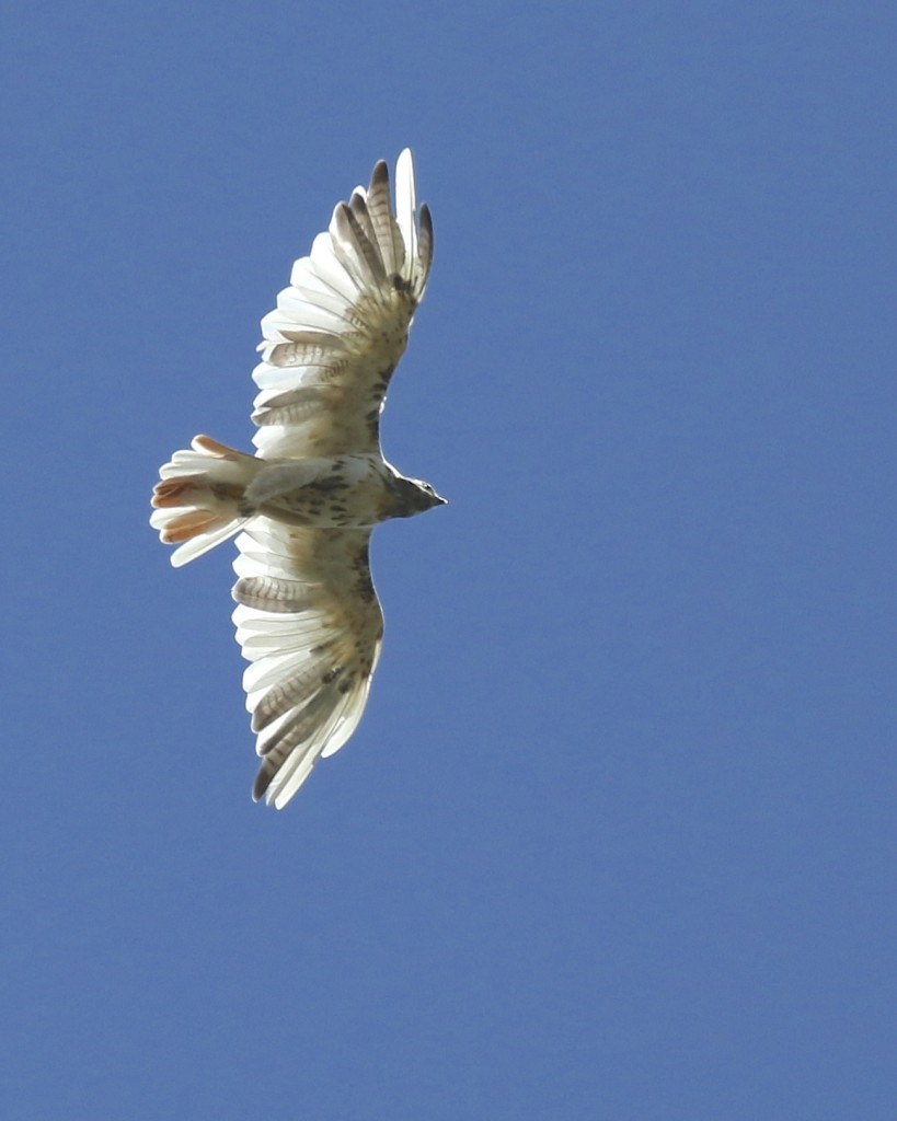 Leucistic Red-tailed Hawk in Warwick NY, 8/29/14.