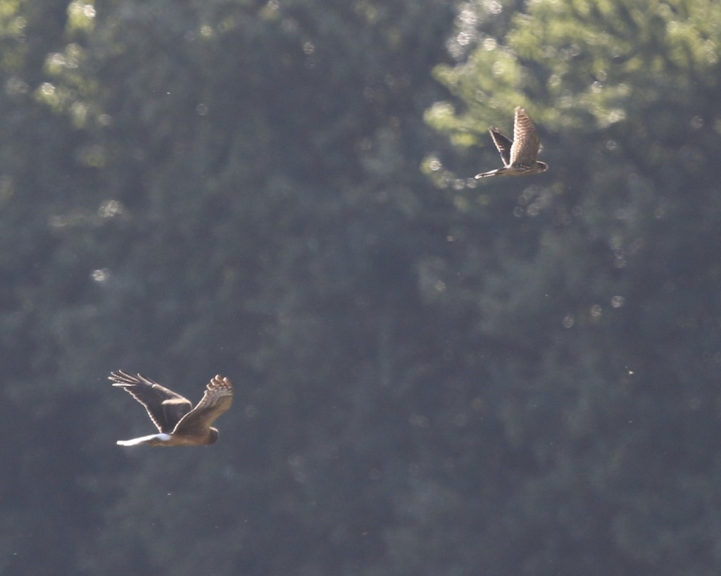 A distant look at a Northern Harrier and what I believe is a Merlin. At first I though Peregrine, but the bird seemed too small. Wallkill River NWR, 8/29/14.