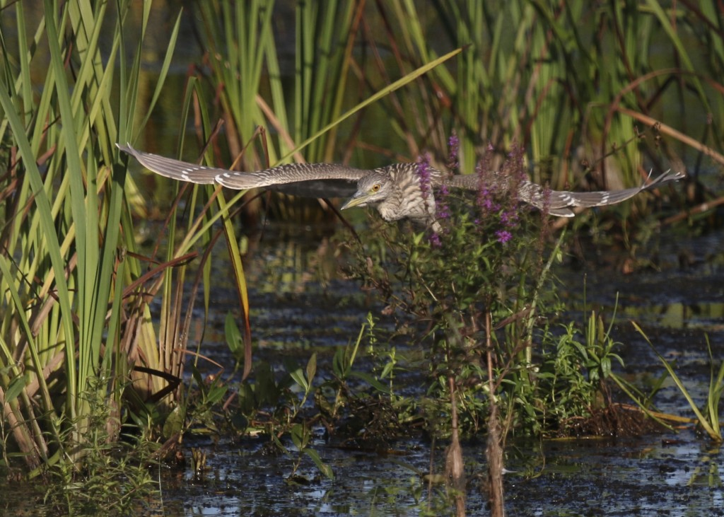 I'm not sure how this bird stayed in focus. BCNH through the vegetation, Wallkill River NWR, 8/29/14..