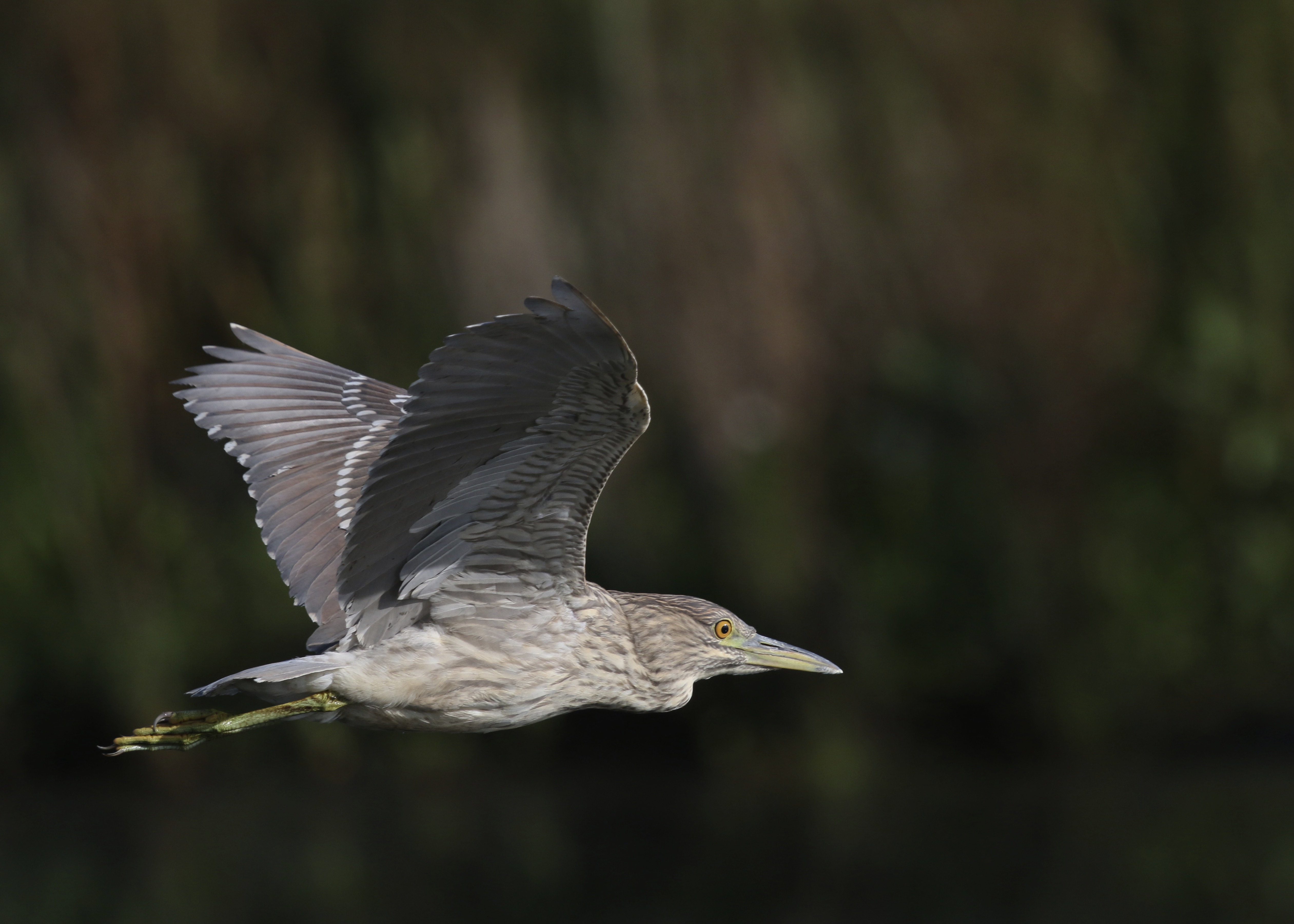 Black-crowned Night-Heron in flight. One of four located at the Wallkill River National Wildlife Refuge, 8/29/14.