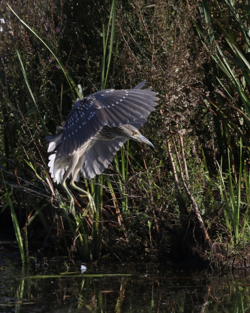 A Black-crowned Night-Heron shifts position. Wallkill River NWR, 8/29/14.